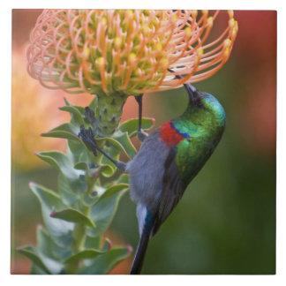 Mayores alimentaciones Doble-agarradas de Sunbird  Azulejo Cuadrado Grande