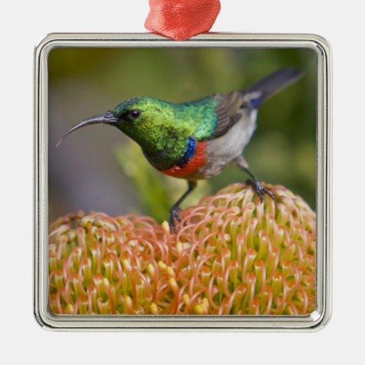 Mayores alimentaciones Doble-agarradas de Sunbird  Ornamento De Navidad