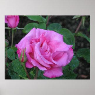 McCartney Hybrid Tea Rose 168 Poster