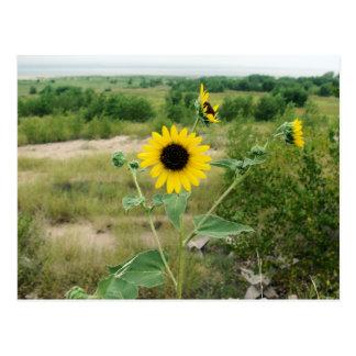 McConaughy Sunflowers Postcard