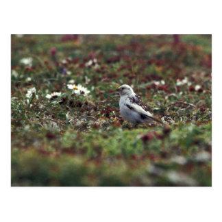 McKays Bunting (breeding plumage) on Hall Island Postcard