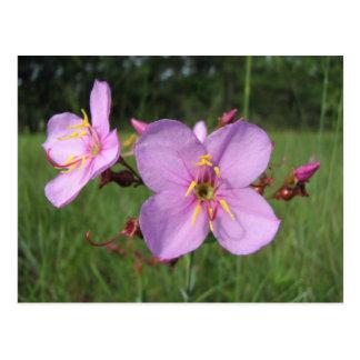 Meadow Beauty Postcard