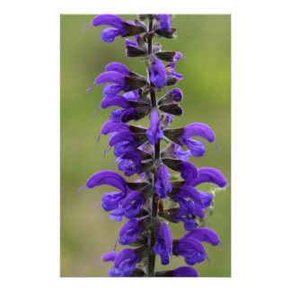Meadow clary or meadow sage stationery