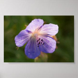 Meadow Cranesbill Flower Poster