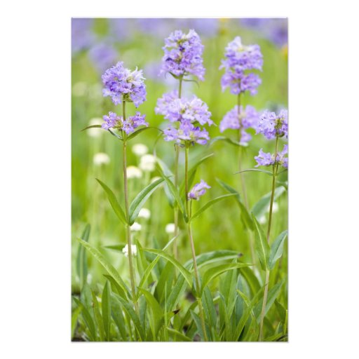 Meadow of penstemon wildflowers in the photograph