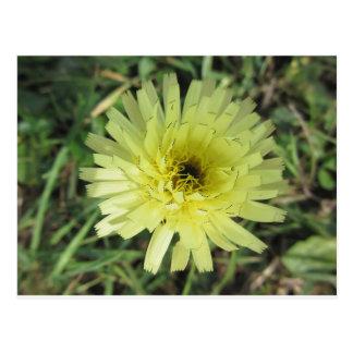 Meadow salsify flower postcard