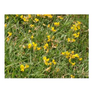 Meadow Vetchling Postcard