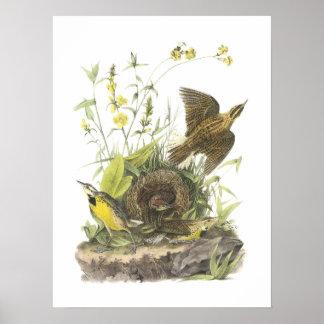 Meadowlark del este por Audubon Póster