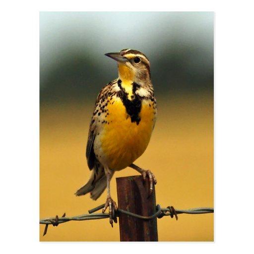 Meadowlark occidental tarjetas postales