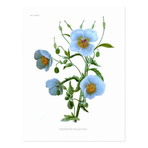 Meconopsis (blue poppy) postcard