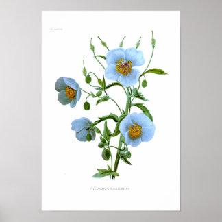 Meconopsis wallichiana (M wallichii) Poster