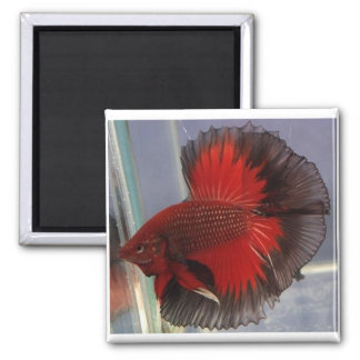 Media luna roja/negra de la mariposa imán cuadrado