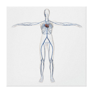 Medical Illustration: Female Circulatory System 1 Gallery Wrapped Canvas