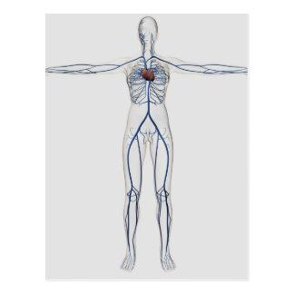 Medical Illustration: Female Circulatory System 1 Postcard