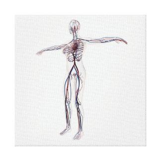 Medical Illustration: Female Circulatory System 2 Canvas Print