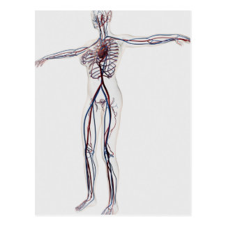 Medical Illustration: Female Circulatory System 2 Postcard
