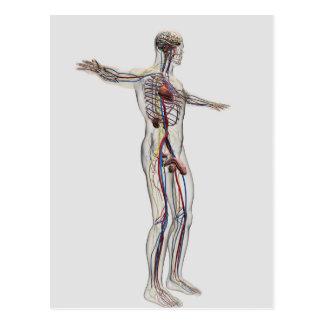 Medical Illustration: Male Reproductive System 2 Postcard