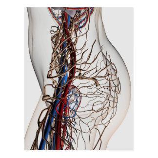 Medical Illustration Of Arteries 2 Postcard