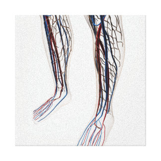 Medical Illustration Of Arteries 3 Stretched Canvas Print