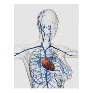 Medical Illustration Of Circulatory System Postcard