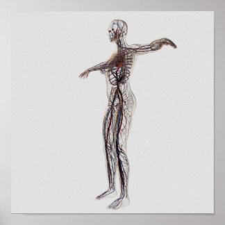 Medical Illustration Of Female Arteries, Veins Poster