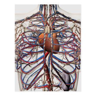 Medical Illustration Of Female Breast Arteries Postcard