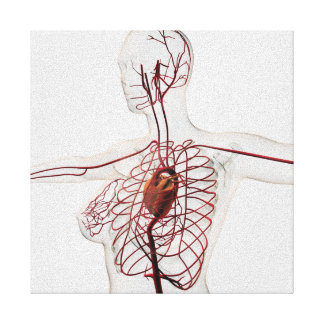 Medical Illustration Of Female Circulatory System Canvas Print