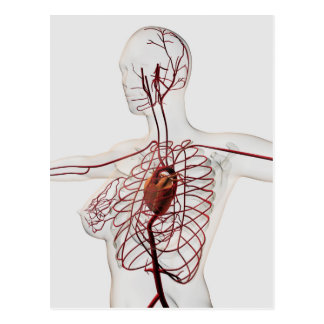 Medical Illustration Of Female Circulatory System Postcard
