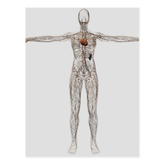 Medical Illustration Of Female Lymphatic System Postcard