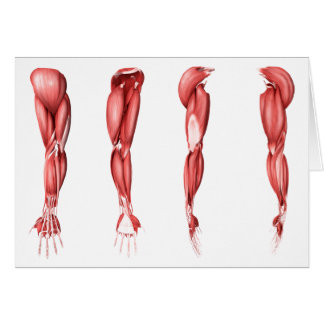 Medical Illustration Of Human Arm Muscles Card