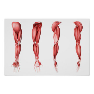 Medical Illustration Of Human Arm Muscles Poster