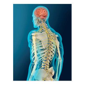 Medical Illustration Of Human Brain & Brain Stem Postcard