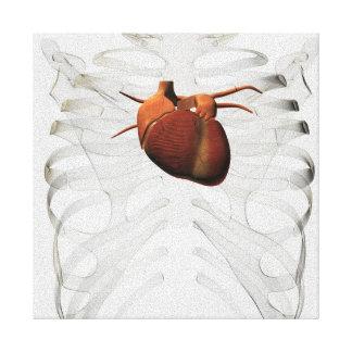 Medical Illustration Of Human Heart And Rib Cage Canvas Print