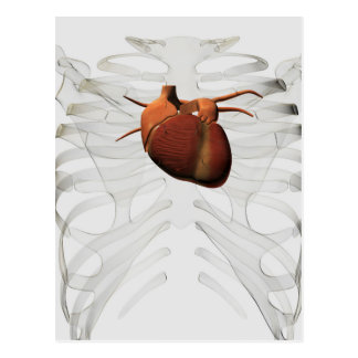 Medical Illustration Of Human Heart And Rib Cage Postcard