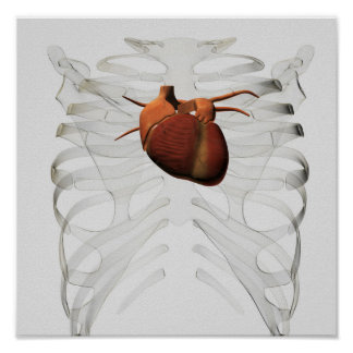 Medical Illustration Of Human Heart And Rib Cage Poster