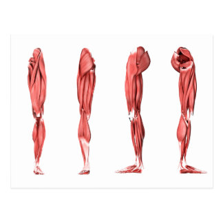 Medical Illustration Of Human Leg Muscles Postcard