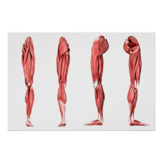 Medical Illustration Of Human Leg Muscles Poster