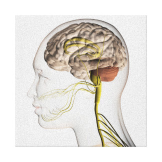 Medical Illustration Of Human Nervous System 1 Gallery Wrapped Canvas