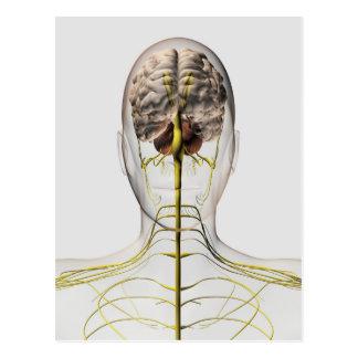 Medical Illustration Of Human Nervous System 2 Postcard