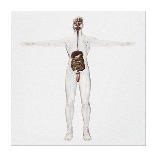 Medical Illustration Of Male Digestive System Canvas Print