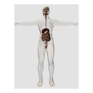 Medical Illustration Of Male Digestive System Postcard