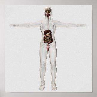 Medical Illustration Of Male Digestive System Poster