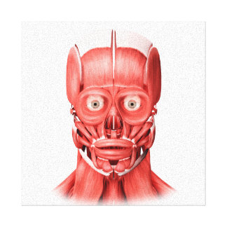 Medical Illustration Of Male Facial Muscles 1 Canvas Print