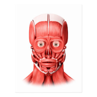 Medical Illustration Of Male Facial Muscles 1 Postcard