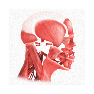 Medical Illustration Of Male Facial Muscles 2 Canvas Print