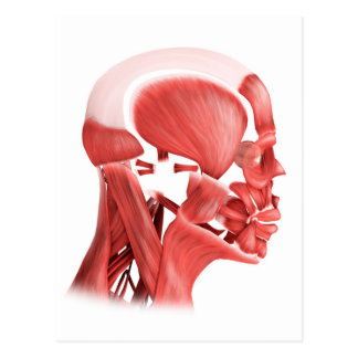 Medical Illustration Of Male Facial Muscles 2 Postcard