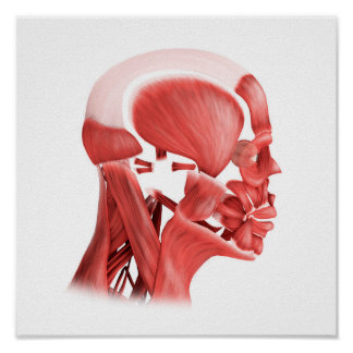 Medical Illustration Of Male Facial Muscles 2 Print