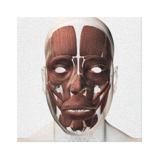 Medical Illustration Of Male Facial Muscles Canvas Prints