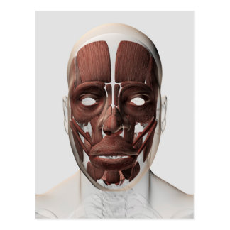 Medical Illustration Of Male Facial Muscles Postcard