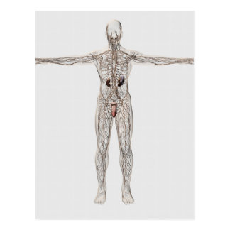 Medical Illustration Of Male Lymphatic System Postcard